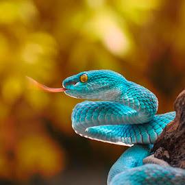 Blue Viper by Ian Bismarkia - Animals Reptiles