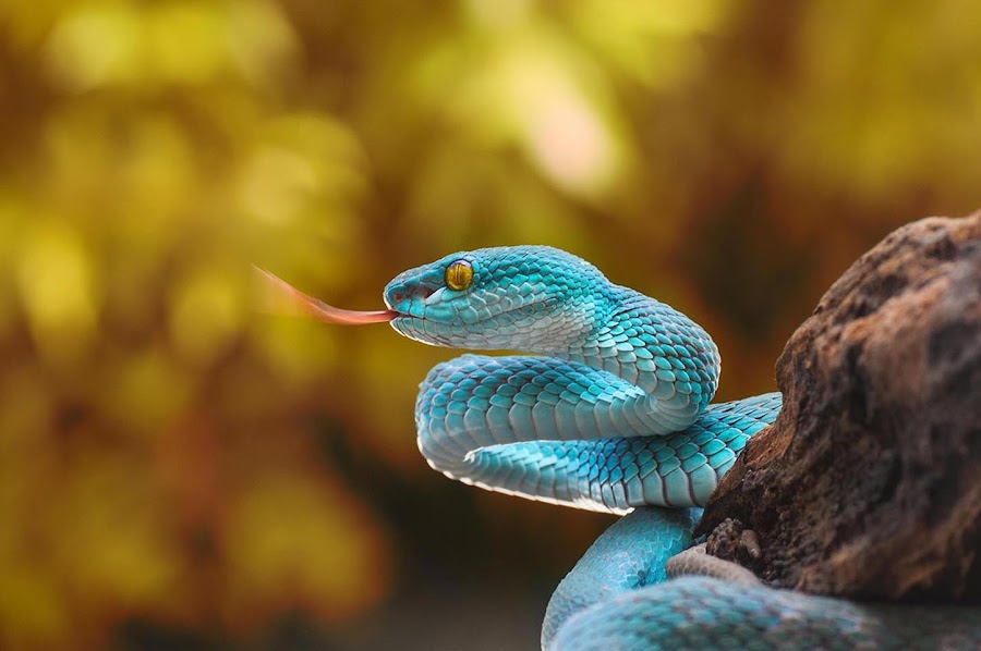 Blue Viper by Ian Bismarkia - Animals Reptiles