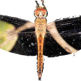 Dragonfly by Nazneen (voiceofcamera.com) - Digital Art Animals ( trending, voiceofcamera.com, voiceofcamera, wwfindia, photography, wildlife )