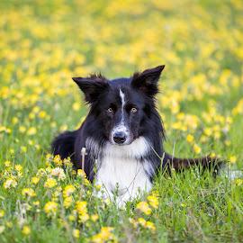 Gentle glance by Tomaz Lipicer - Animals - Dogs Portraits ( border collie, gentle, glance, best friend, dog )
