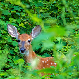 Curious Fawn by Judy Florio - Animals Other Mammals ( faun, woods, deer, animal )