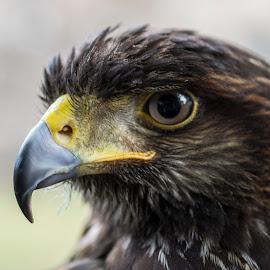 Loki by Marius Peptan - Animals Birds ( bird, nature, beak, natural, birds )