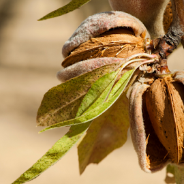 Nearly ripe almonds by Deyan Georgiev - Nature Up Close Trees & Bushes ( plant, shell, almond, detail, seasonal, nutshell, leaf, leaves, crop, spain, hanging, farm, macro, nature, tree, autumn, foliage, tradition, mediterranean, cultivation, ingredient, peel, closeup, pod, fruit, spanish, flora, seed, green, agriculture, traditional, kernel, farming, edible, organic, season, whole, food, background, grow, cultivate, ripe, nut, healthy, summer, branch, brown, harvest, group, natural )