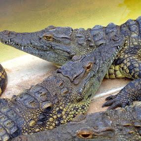 3 crocs by Nicole Janse van Vuuren - Novices Only Wildlife