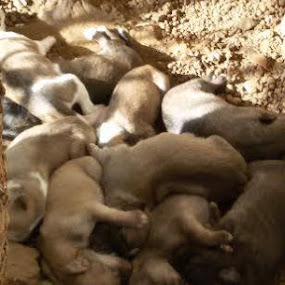 Look at those cute puppies just 10 days old.... Anja by Abhay Joshi - Animals Other