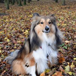 Autumnal Sheltie by Fiona Etkin - Animals - Dogs Portraits ( canine, nature, autumn, pet, shetland sheepdog, forest, leaves, dog, woods, sheltie, animal )