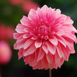 Pink Dahlia #8 by Jim Downey - Flowers Single Flower ( red, pink, petal, dahlia, dark )