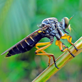 Rover fly by Asif Bora - Animals Insects & Spiders