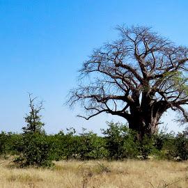 Baobab tree by Pieter J de Villiers - Nature Up Close Trees & Bushes