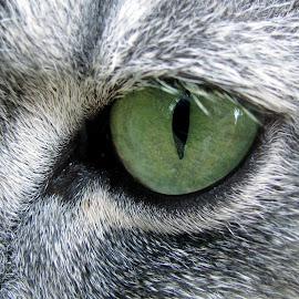 Green Eye by Eva Soderholm - Animals - Cats Portraits ( cat, eyelashes, green, one, eye )