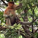 Proboscis monkey (female with baby)