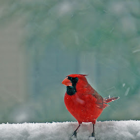 Cardinal in the snow by Gary Amendola - Animals Birds (  )