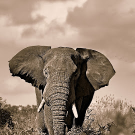The Bull by Pieter J de Villiers - Black & White Animals ( animals, elephant bull, elephant, black  & white, bull )