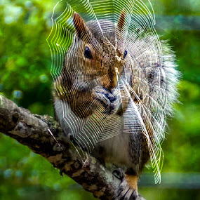 Caught in a web by Jim Harris - Animals Other Mammals ( perched, tree branch, spider, spider web, squirrel )