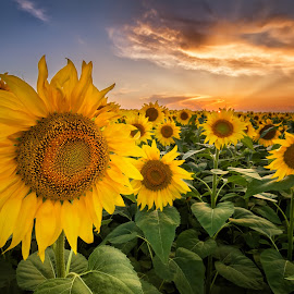 Sunflower field by Evgeni Ivanov - Landscapes Prairies, Meadows & Fields ( plant, orange, colorful, agriculture, cloudscape, scenic, landscape, dusk, field, nature, blue, horizontal, vibrant color, cloud, rural scene, flower, petal )