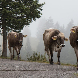 Cows in the mist by Twan Konings - Animals Other ( mountains, animals, grass, fog, trees, austria, cows, mist, alps )