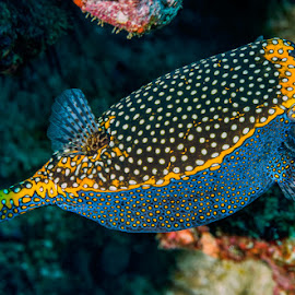 spotted boxfish by Peter Schoeman - Animals Fish ( boxfish, spotted, fish, spotted fish, yellow, ostracion, underwater photo, macro, sealife, nature, marine life, deep, black, spots, white, coral reef, scuba, diving, small, coral, coral fish, colorful, underwater, one, tropical, undersea, wildlife, ocean, cute, photography, box fish, cubicus, sea life, life, swim, closeup, animal, water, marine, reef fish, reef, tropical fish, dive, sea, aquatic, blue, background, spotted boxfish, box, saltwater )