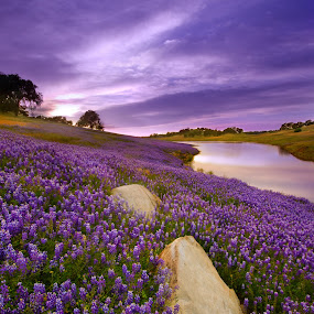 Rock Garden by Dustin Penman - Landscapes Prairies, Meadows & Fields ( clouds, shore, water, wildflowers, spring field, dustin, purple, lake, penman, blue, lupine, oak trees, flowers, rocks, folsom )