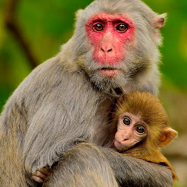 Mother and baby monkey by Francois Wolfaardt - Animals Other Mammals ( hug, mother, monkeys, baby, eyes )
