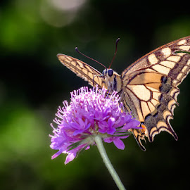 Papilio machaon by Roberto Melotti - Animals Insects & Spiders ( butterfly, roberto melotti, papilio machaon, macaone, common yellow swallowtail, beautiful, nikon d810, pink, insect, swallowtail, old world swallowtail, flower )