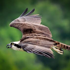 Osprey in flight by Danny Robbins - Animals Birds ( the lake )