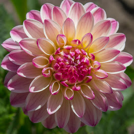 Another Beautiful Flower by Janet Marsh - Flowers Single Flower ( dahlia,  )