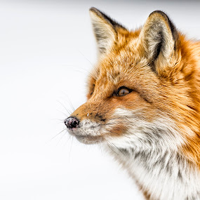 Red fox stare  by Chris Pepper - Animals Other ( fox, north of 49 photography, photography workshops, wildlife, redfox, chris pepper, chrispepperphotography )