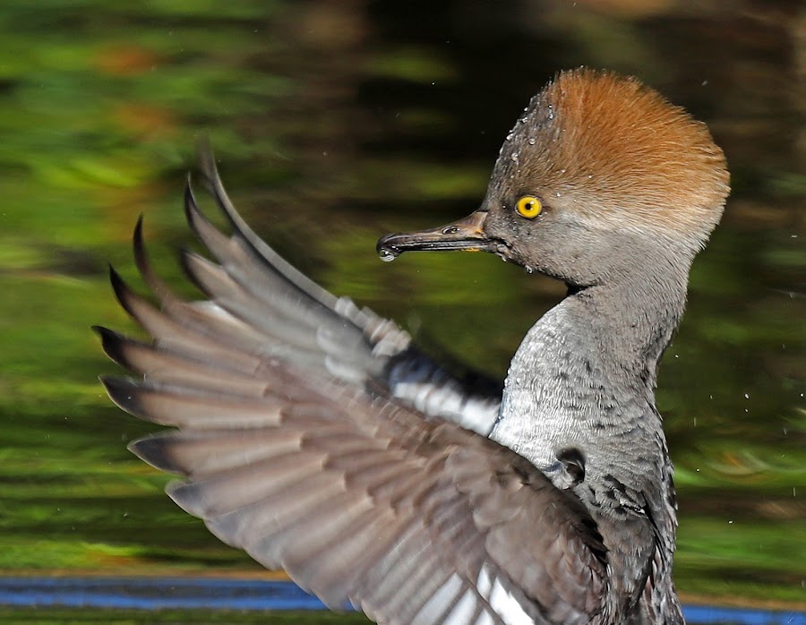 Drying my Wings! by Anthony Goldman - Animals Birds ( bird, wild, florida., wings, male, tampa, retention, duck, wildlife, merganser, juvenile, pond,  )