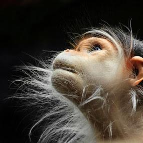 Look to the Heavens by Ann J. Sagel - Animals Other Mammals ( ann j. sagel, douc langur, monkey,  )