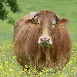 Buttercup by Laura Payne - Animals Other ( direct, face, limousin, green, cow, front, horn, yellow, cute, cattle, content, field, colour, sweet, full, female, happy, brown, animal, buttercup )