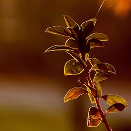natural light...sunrise by Ivy Luna - Nature Up Close Leaves & Grasses ( #sunlight on leaves, #burning leaves, #natural light, #leaves, #fine light,  )