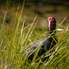 Pukeko by Scott Pirrie - Animals Birds