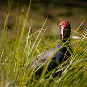 Pukeko by Scott Pirrie - Animals Birds