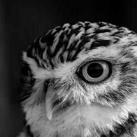 Little owl by Garry Chisholm - Black & White Animals ( canon, macro, bird of prey, nature, owl, captive, little, garrychisholm )
