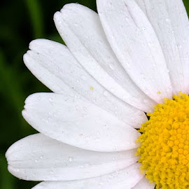 Daisy Daisy by Laura Lambden - Nature Up Close Gardens & Produce ( macro, nature, white, daisy, yellow, garden, flower,  )