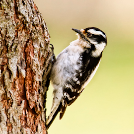 First Downy of Spring by Bill Tiepelman - Animals Birds ( bird, tree, nature, wildlife, downy woodpecker, woodpecker )