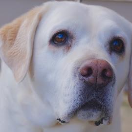 Lovely White Lab by Barbara Brock - Animals - Dogs Portraits ( labrador face, pet, white labrador, older dog, dog, perfect dog, labrador, lab )