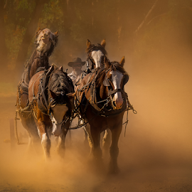 Dusty Team by Gary Beresford - Animals Horses ( working horse, horses, horse, australia, farming, clydesdales )