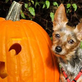 Little Pumpkin by Briand Sanderson - Public Holidays Halloween ( doggie, yorkshire terrier, yorkie, pumpkin, terrier, mammal, yorky, halloween, canine, cindyloo, jack-o-lantern, dog, animal,  )