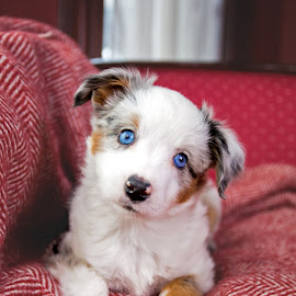 Blue eyes by Kinsey Winger - Animals - Dogs Puppies ( shepherd, merle, australian, blue, puppy, cute, dog, aussie, eyes )