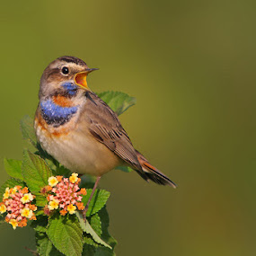 Singing Beauty ... Bluethroat  by Sharad Agrawal - Animals Birds ( wildlfie, bird, nature, rajasthan, udaipur, india, birds )