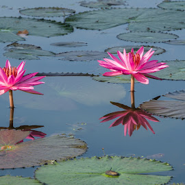 Lotus by Daniel Kong - Flowers Flowers in the Wild ( water, pink flower, lake, garden, lotus flower )