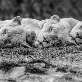The lions sleep tonight by Garry Chisholm - Black & White Animals ( lion, nature, kent, garrychisholm, smarden, big cat sanctuary )