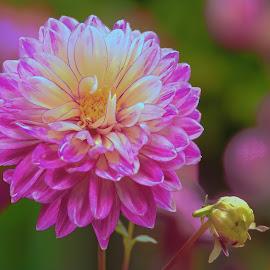 Violet Purple flower by Jim Downey - Flowers Single Flower ( white, dahlia, violet, yellow, purple )