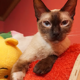 by Rica Mendenilla - Animals - Cats Portraits ( #philippines, babyjack, #happyimae, siamese, #jackthecat )