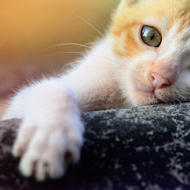 by Subir Majumdar - Animals - Cats Portraits