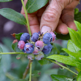Growing Blueberries by Kathleen Koehlmoos - Food & Drink Fruits & Vegetables ( growing blueberries, blue berries, home grown blueberries, growing blue berries, blueberries )