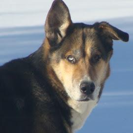Toby by Joyce Trowbridge - Animals - Dogs Portraits (  )