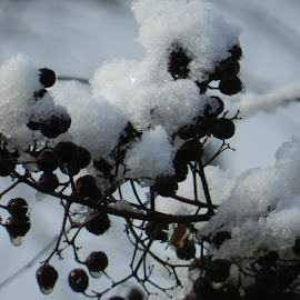 Frosty Berries by Gia Gee - Nature Up Close Other plants ( winter, snow, berries )
