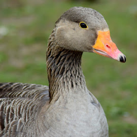by Betty Taylor - Nature Up Close Water ( geese wildlife birds )